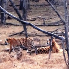 Ranthambore Tiger Reserve – Easy Tiger Sightings!
