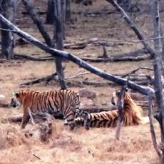 Ranthambore Tiger Reserve – Easy Tiger Sightings!