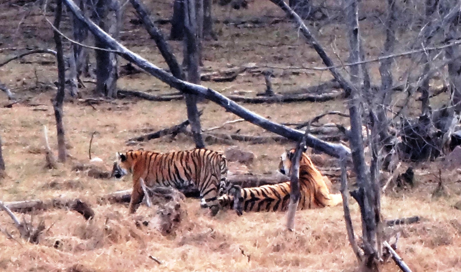 Ranthambore Tiger Reserve - Easy Tiger Sightings!