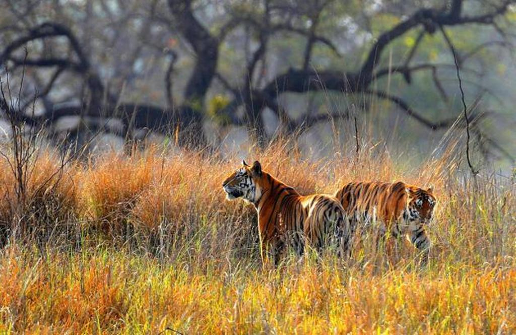 Tigers in Golden Meadows of Kanha National Park