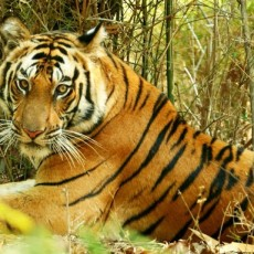 Bandhavgarh National Park – Densest Population of Tigers in India